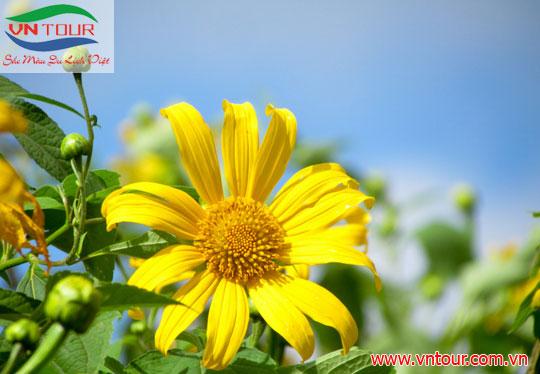Quyến rũ một loài hoa Đà Lạt mang tên Dã Quỳ