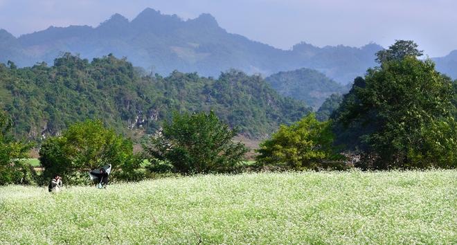 Mộng mơ loài hoa cải trắng Mộc Châu tuyệt đẹp