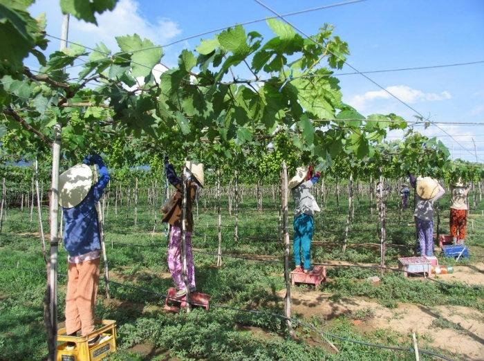 Người nông dân tia nho để có những trái nho chất lượng nhất