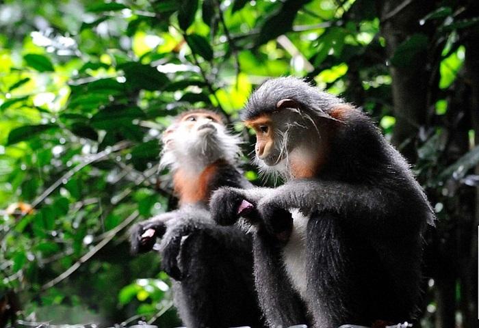 Voọc ở vườn quốc gia Cúc Phương