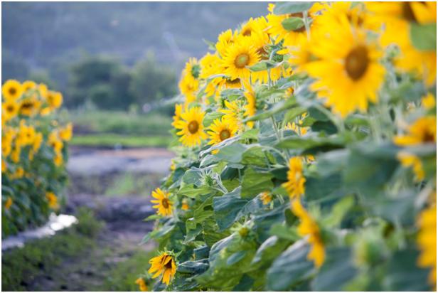 Cánh đồng hoa hướng dương Bà Rịa