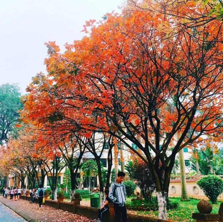 """Lá vàng rơi phủ kín cả """"con đường mùa thu"""" tại HNUE. Ảnh @sad.wind"""