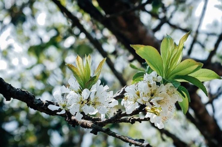 Hoa ban trắng