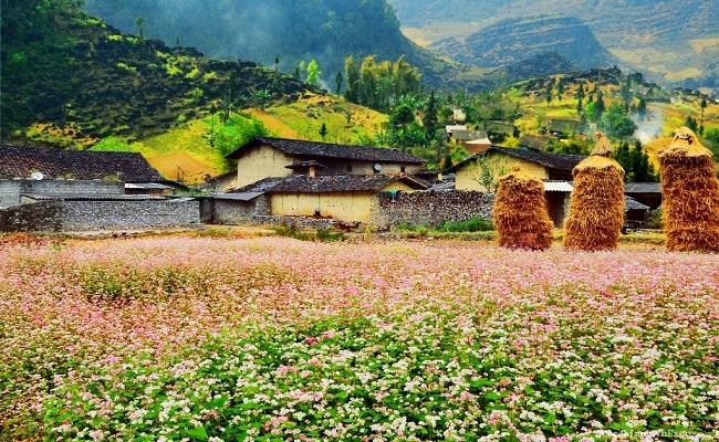 Thung lũng Sủng Là nổi tiếng nhất là hoa Tam Giác Mạch