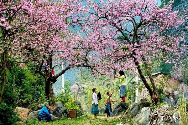 Những đứa bé vùng cao chơi đùa với nhau dưới tán cây hoa đào khi độ xuân về Sapa