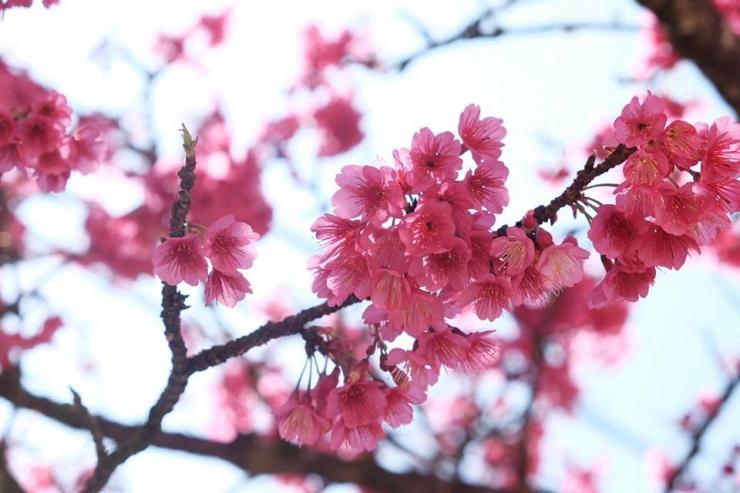 Bông đào nở rộ thành chùm khoe sắc đỏ trên nhánh cây