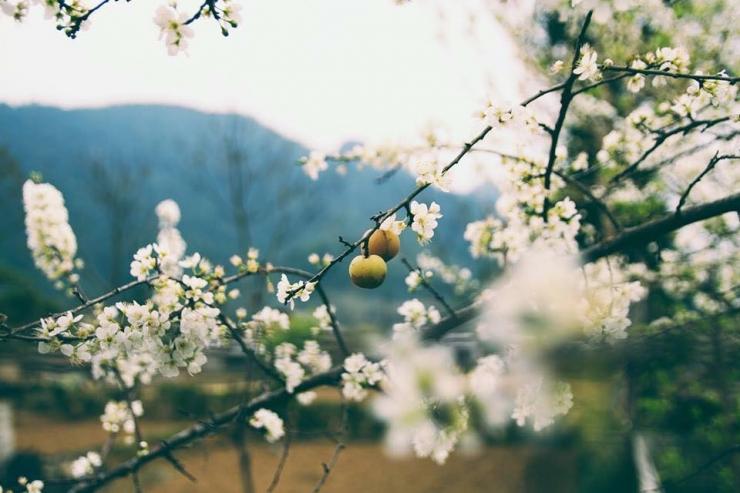 Cận cảnh những bông hoa mận trắng