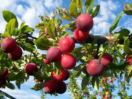 Mận - trái cây thơm ngon vào mùa hè Sapa