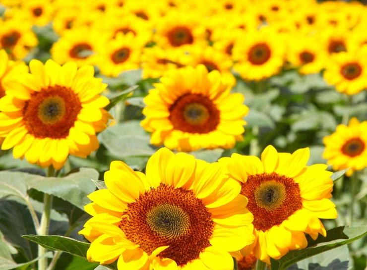 Hoa hướng dương đang khoe sắc vàng tại Đức Trọng, Lâm Đồng