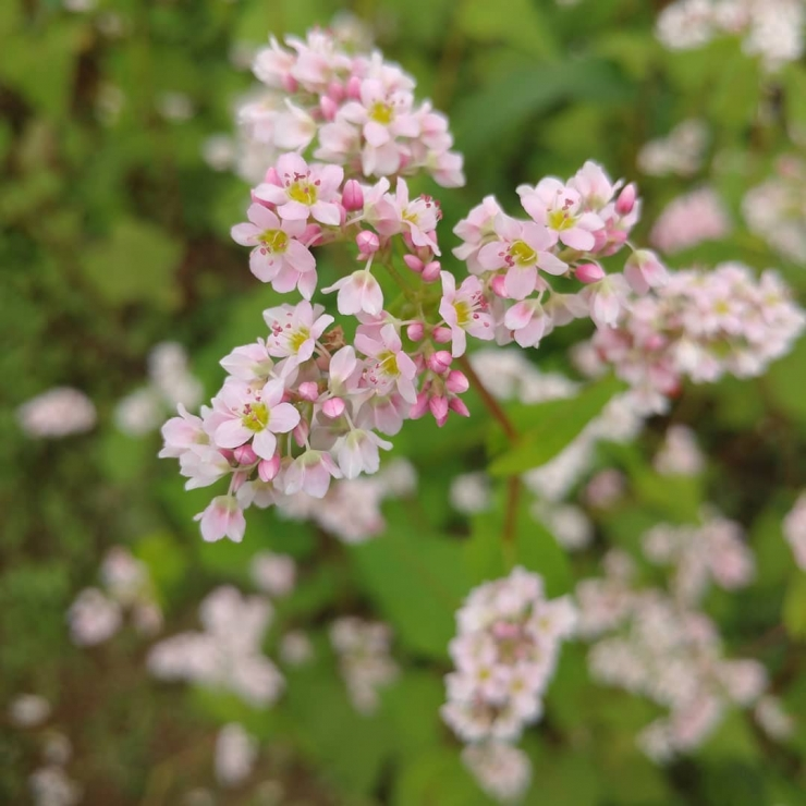 Cận cảnh hoa tam giác mạch - loài hoa dại rực rỡ vào tháng 11 Đà Lạt