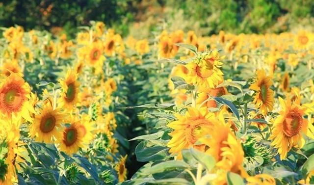Quang cảnh cánh đồng hoa hướng dương