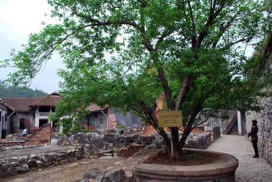 Cây đào Tô Hiệu