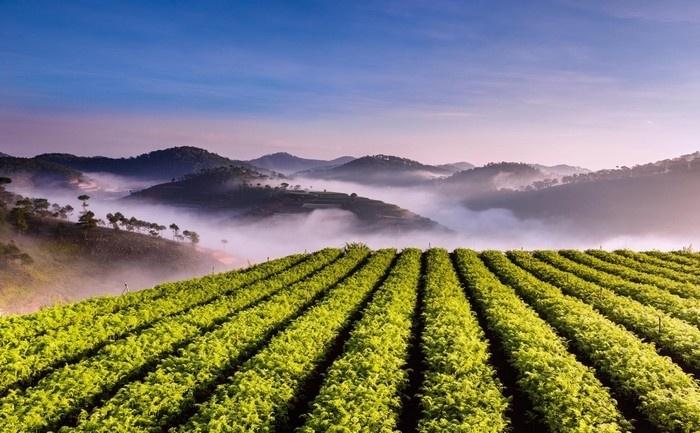 Đồi chè Cầu Đất được bao phủ bởi lớp sương mù mong manh trong sớm thu