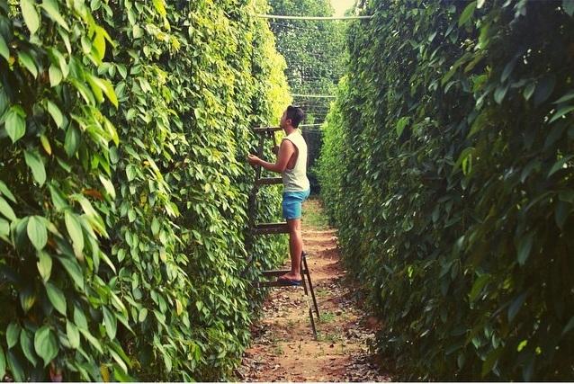 Đến vườn tiêu Phú Quốc, bạn sẽ được trải nghiệm hái tiêu từ trên những cành cây xuống
