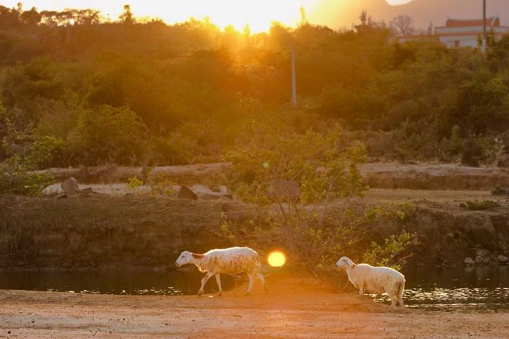 Hình ảnh đàn cừu băng trên đồi cát Nam Cương vào mỗi buổi chiều