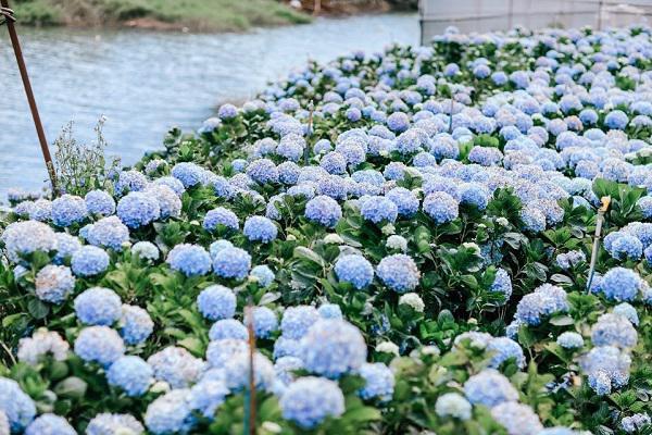 Cánh đồng hoa cẩm tú cầu làng đất sét - đường hầm điêu khắc Đà Lạt