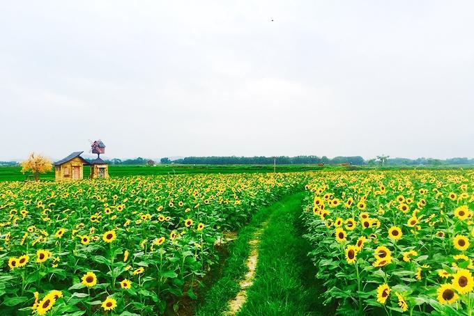 Cánh đồng hoa hướng dương Bắc Giang