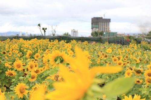 Vườn hoa hướng dương tại Đà Nẵng
