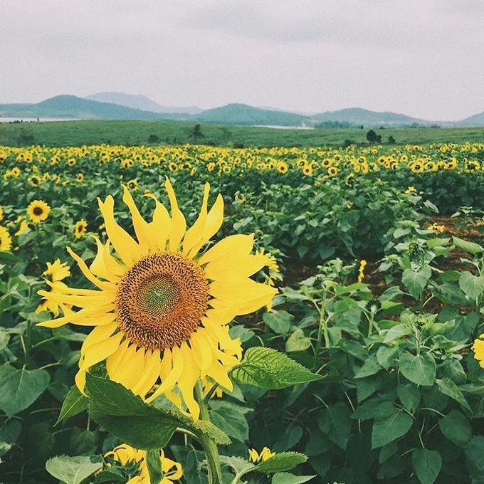 Cận cảnh bông hoa hướng dương tại cánh đồng hoa Nghệ An