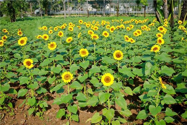 Vườn hoa hướng dương tại Bửu Long, Biên Hòa - Đồng Nai