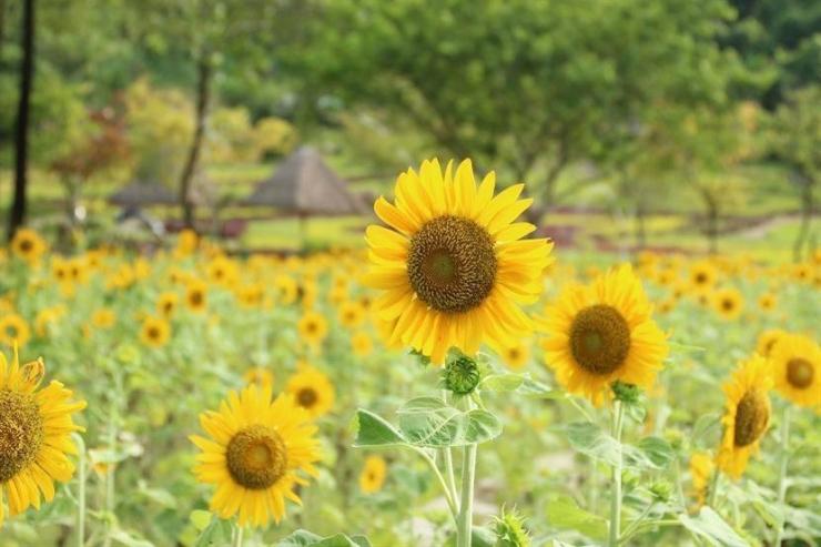 Vườn hoa hướng dương tại Yang Bay