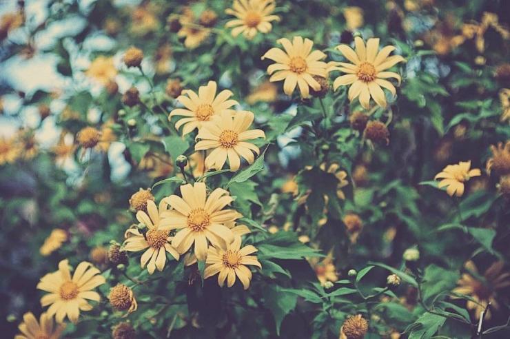 Hoa dã quỳ vàng rực giữa tiết trời se lạnh như mang lại bầu không khí ấm áp, gần gũi