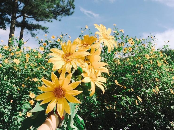 Hoa Dã Quỳ toả ánh vàng rực rỡ dưới ảnh nắng mặt trời Đà Lạt