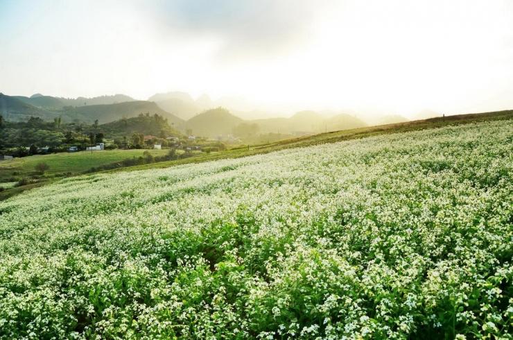 Những bông hoa cải trắng rực nở khi thu về Mộc Châu