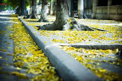 Con đường Hà Nội mùa thu rơi đầy lá vàng