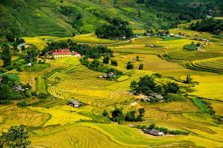 Cánh đồng đang thu hoạch ở Sàng Ma Sáo