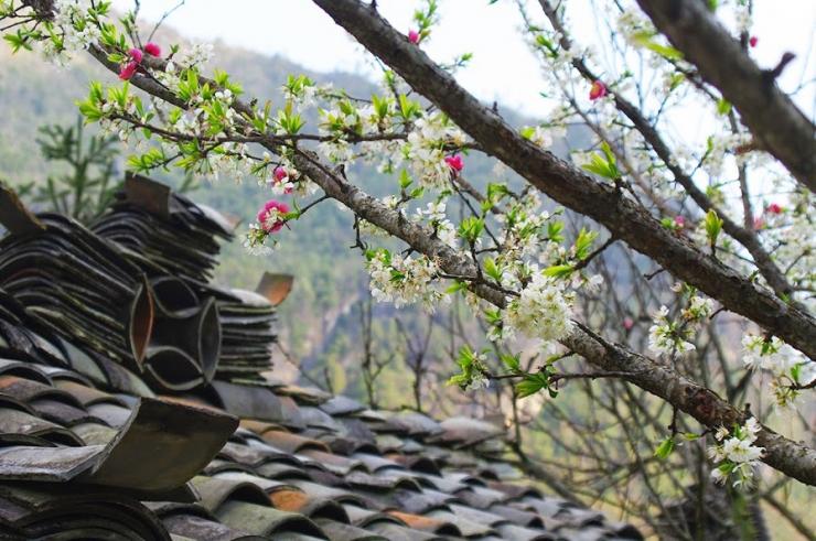 Hoa nở trắng xóa trên những mái nhà