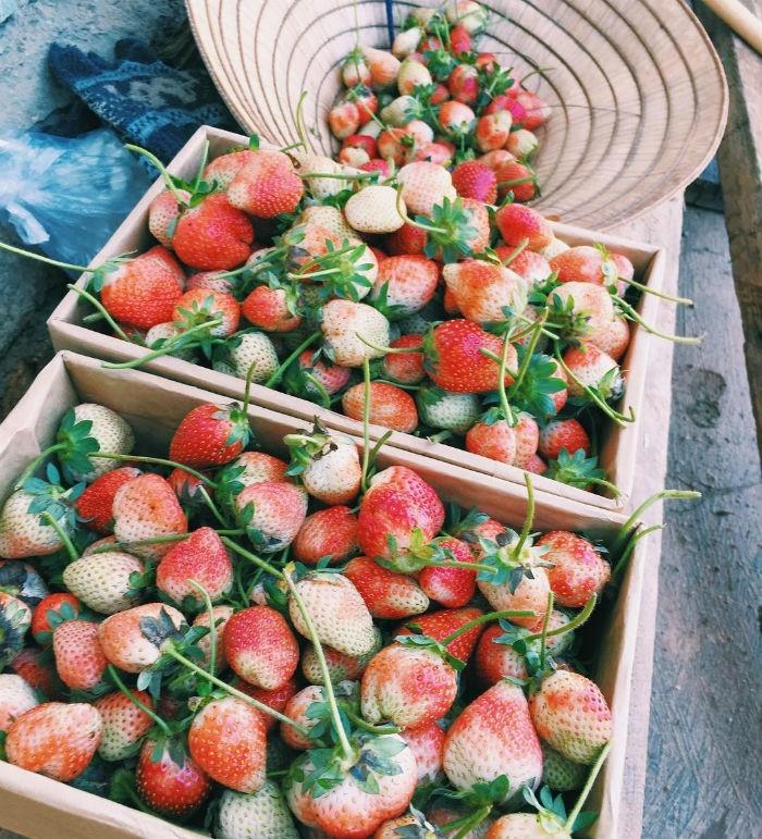 Những trái dâu thu hoạch được tại vườn dâu 88 Đà Lạt
