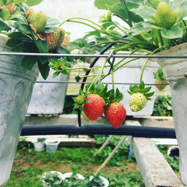 Những trái dâu xinh xắn tại vườn dâu Biofresh