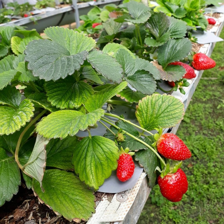Những trái dâu đỏ căng mọng tại vườn dâu Hiệp Lực