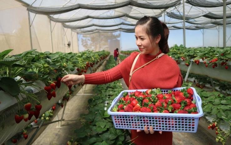 Tại vườn dâu của anh Nguyễn Lâm Thanh