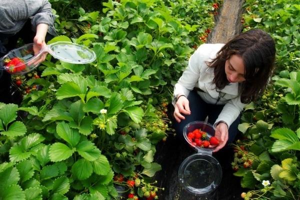 Khách du lịch hào hứng lựa chọn những trái dâu cho mình