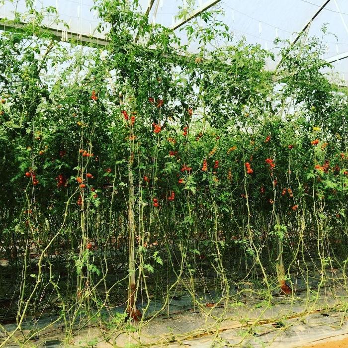 Có cả vườn cà chua bi trong vườn dâu Nhật Đà Lạt