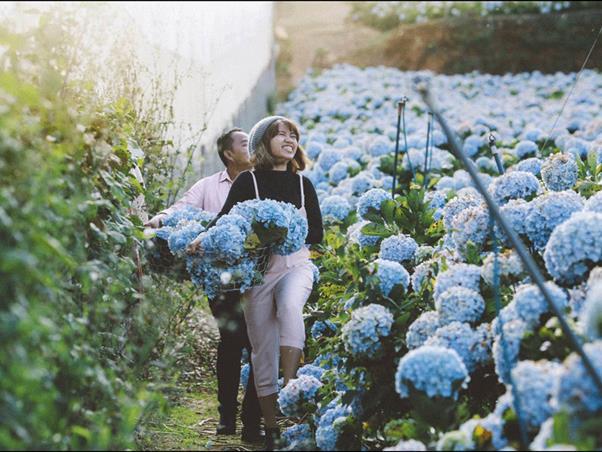 Cánh đồng hoa cẩm tú cầu tại huyện Lạc Dương