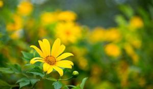 Ngắm hoa Dã Quỳ tuyệt đẹp ở Đà Lạt