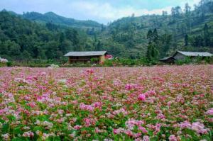 Tour du lịch Hà Nội - Hà Giang 5 ngày 4 đêm - Vẻ đẹp hoa Tam Giác Mạch