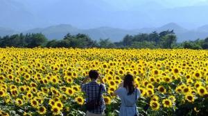 Phát hiện cánh đồng hoa hướng dương đẹp rực rỡ ở Đức Trọng-Đà Lạt nhưng ít ai biết đến