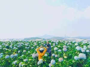 Những cánh đồng hoa cẩm tú cầu ở Đà Lạt