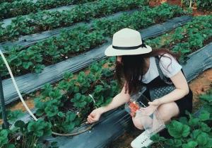 Đột kích vào các vườn dâu nổi tiếng Đà Lạt