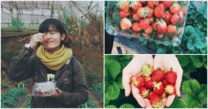 TOP những vườn dâu tây uy tín được giới trẻ rần rần
