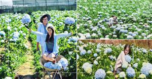 Khám phá cánh đồng hoa cẩm tú cầu cực đẹp tại Đà Lạt