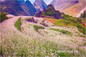 Đắm say sắc hoa tam giác mạch những ngày thu Tây Bắc